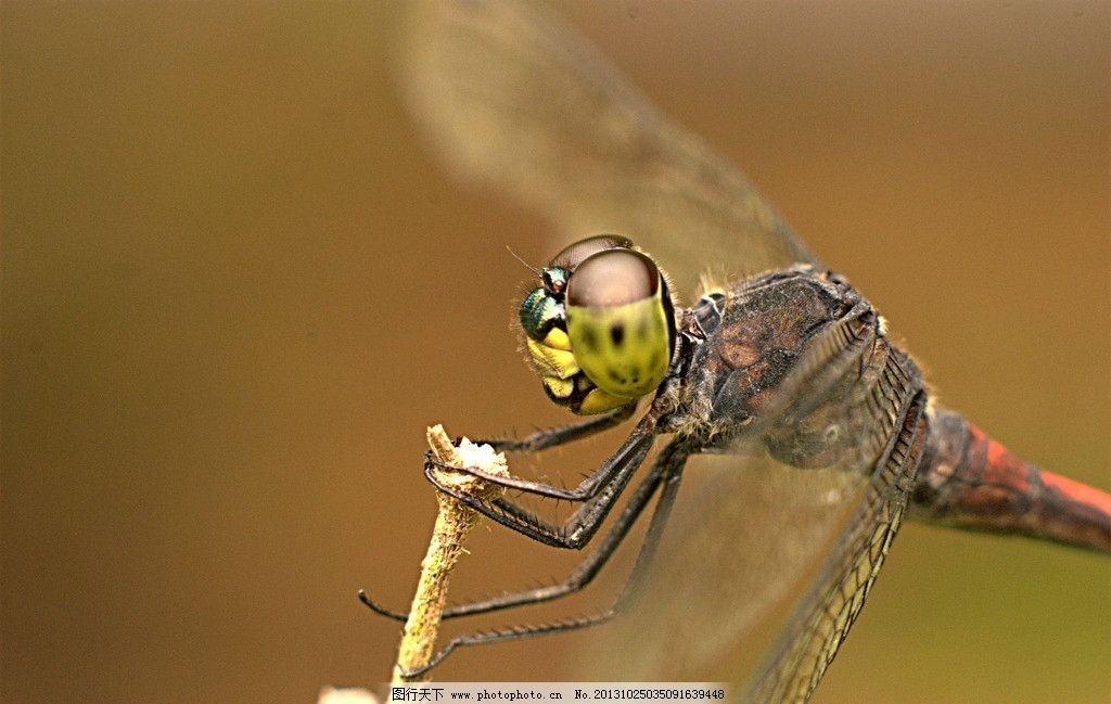 蜻蜓 背景 素材 树枝 翅膀 野生动物 生物世界 摄影 72dpi jpg