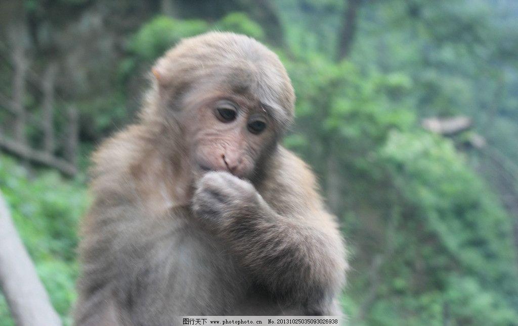 猴子 峨眉山 摄影 猴 动物 野生动物 生物世界 300dpi jpg