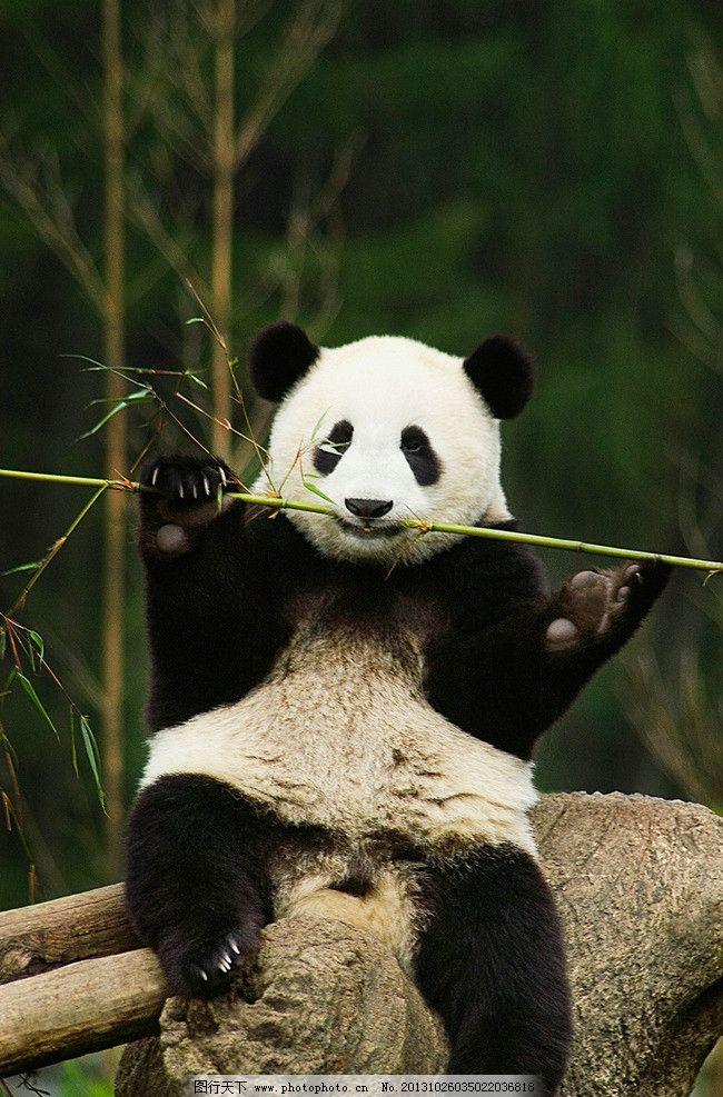 熊猫 大熊猫 搞笑熊猫 熊猫竹子 熊猫正面 国宝 野生动物 生物世界 摄