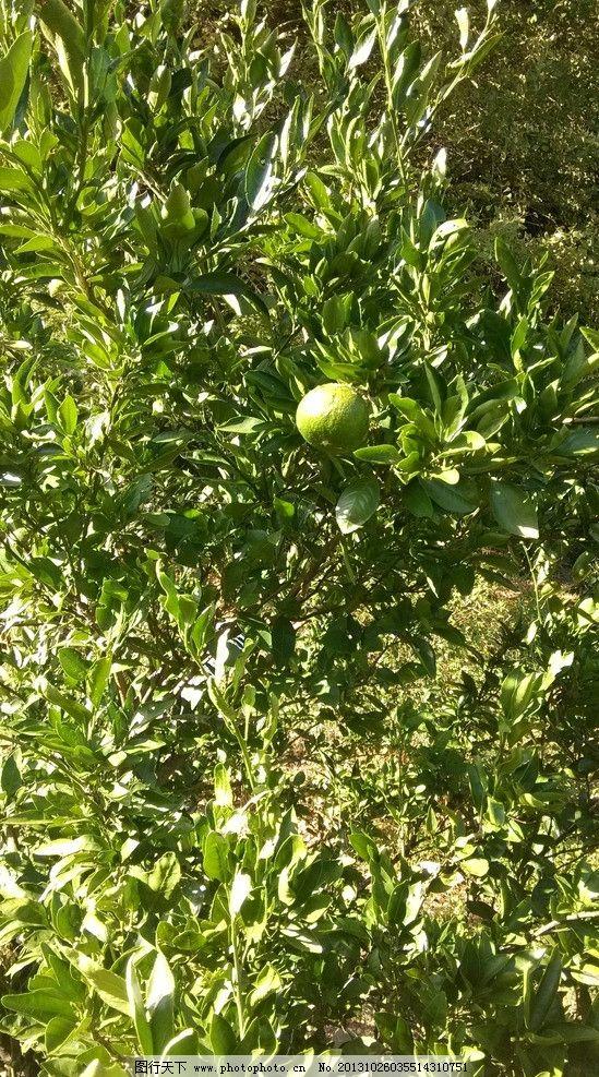 橘子樹 果樹 水果樹 桔子樹 桔子林 橘子林 秋天的桔子 豐收