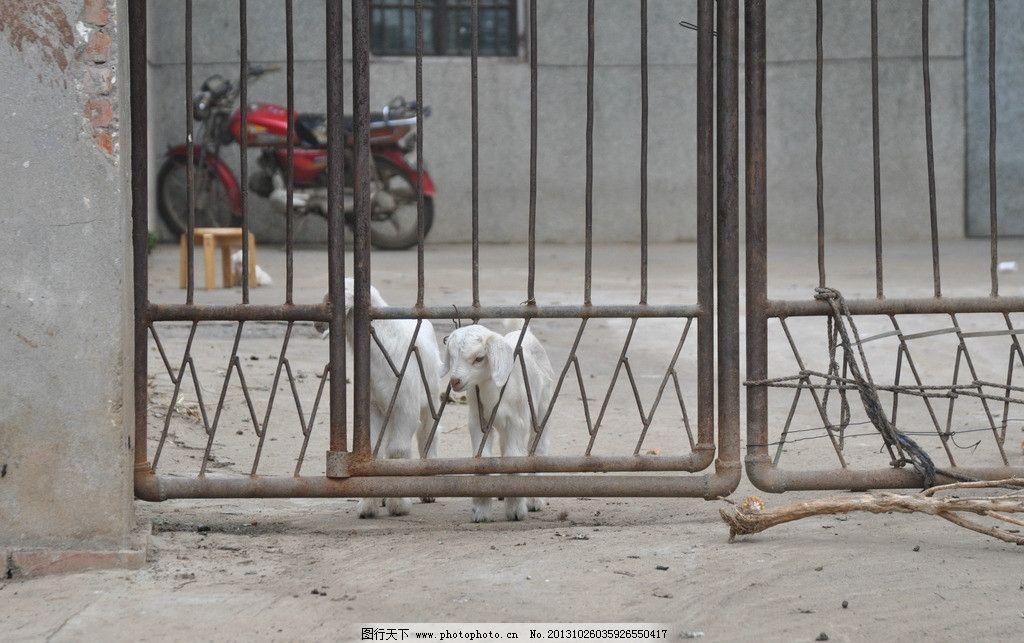 山羊 摄影 动物 生物世界 羊子 家禽家畜 300dpi jpg