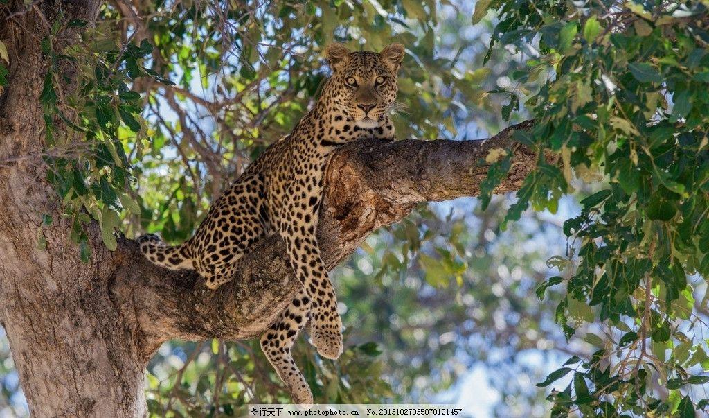 金钱豹 美洲豹 豹子 大树 动物 生物 生物世界 野生动物 摄影 72dpi
