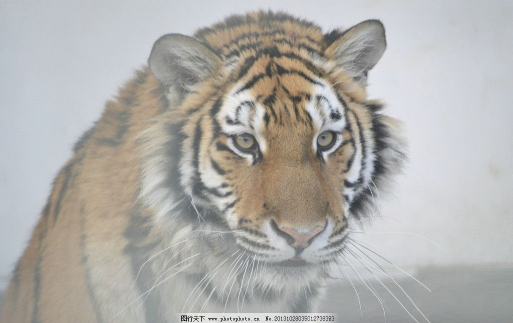 老虎 虎 猛虎 森林之王 猫科动物 野生动物 生物世界 摄影 300dpi jpg