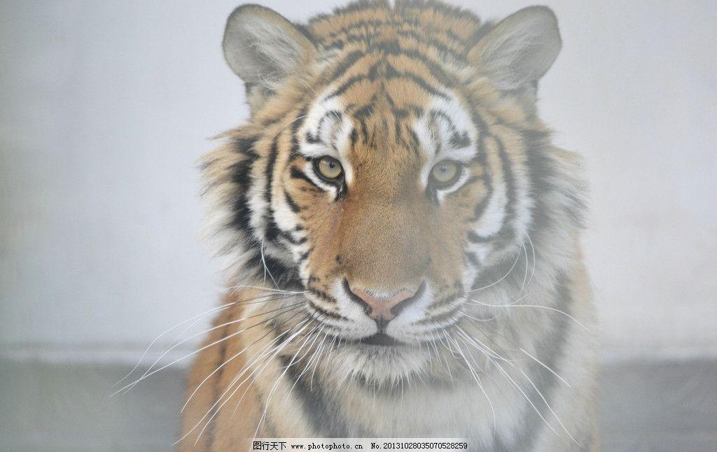 老虎 虎 猛虎 森林之王 大猫 猫科动物 野生动物 生物世界 摄影 300