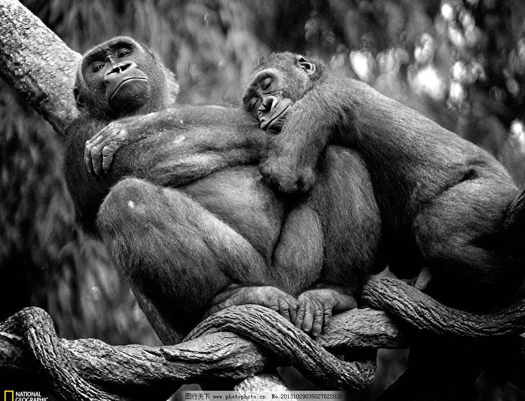猩猩 猴子 非洲 动物 睡觉 聪明 亲情 黑白 野生动物 生物世界 摄影