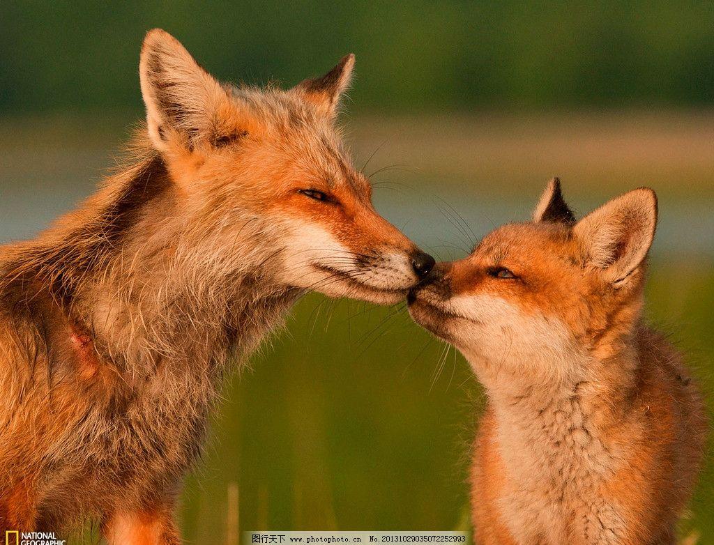 狐狸 火狐 红色狐狸 动物 两只狐狸 两只 亲情 野生动物 生物世界