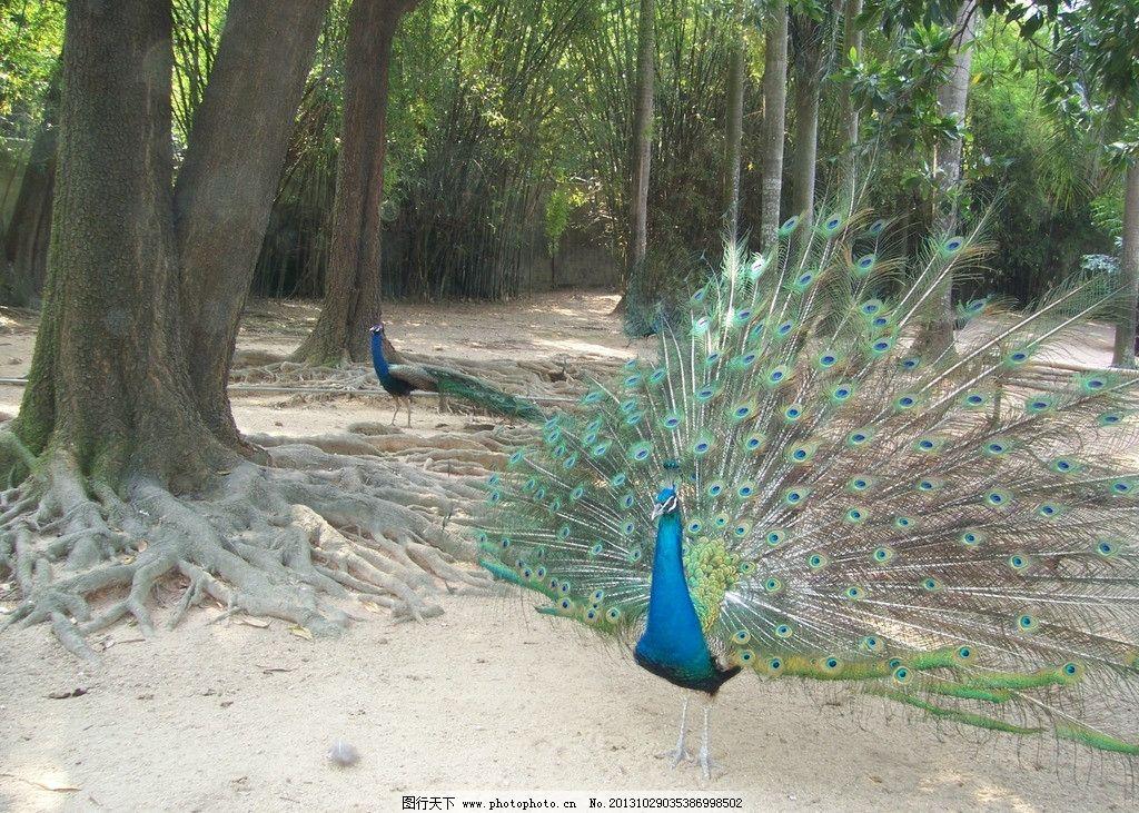 孔雀开屏 孔雀 动物园 漂亮 开屏 大鸟 鸟类 生物世界 摄影 230dpi