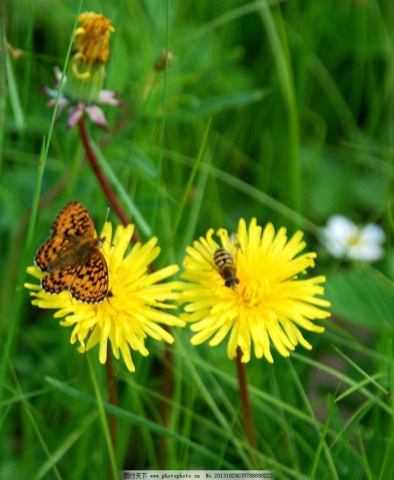 蒲公英花上的蝴蝶和蜜蜂图片