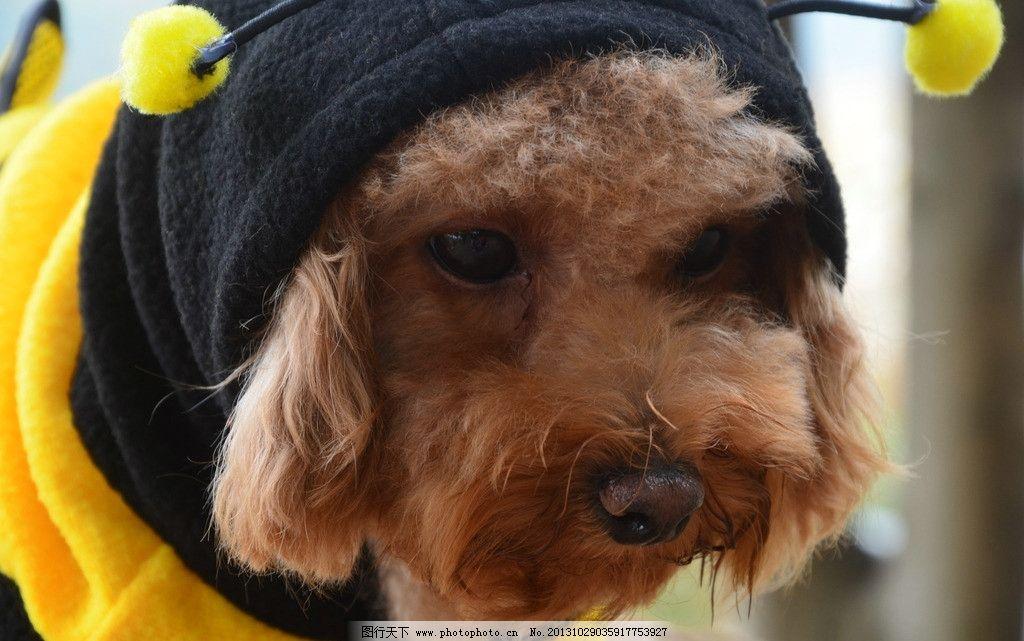 小型犬 泰迪 爱宠 狗狗 宠物 宠物狗 贵宾 没精打采 装可怜 万圣节 小