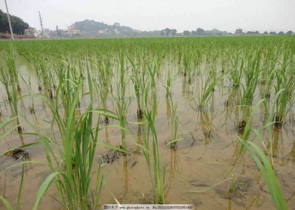 水稻 稻田边 农业 田园风光 粮食 农田 农业生产 杂交水稻 生长期