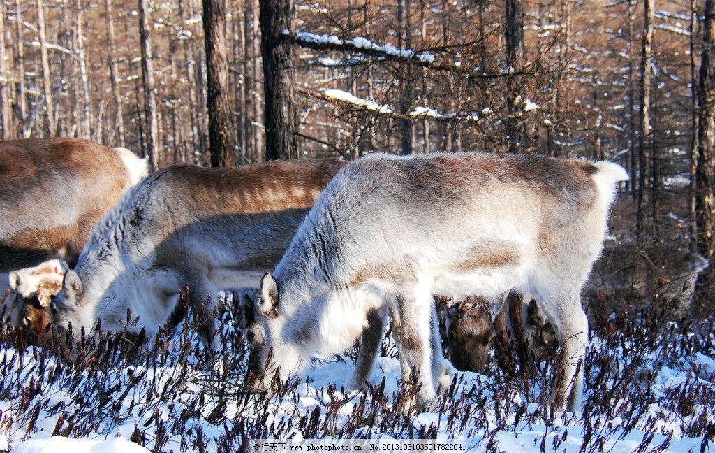 冬季猎民点的驯鹿 根河市 冬天 寒冷 野生动物 角鹿 四不象 雪地