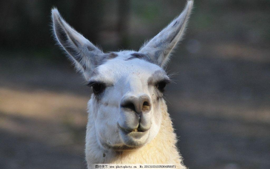 羊驼 神兽 草泥马 微笑 白色 野生动物 生物世界 摄影 300dpi jpg