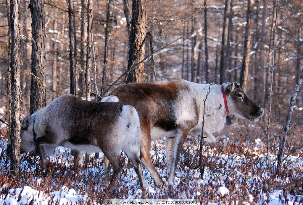 根河市 冬天 寒冷 猎民点 驯鹿 野生动物 角鹿 四不象 雪地 草丛 树林