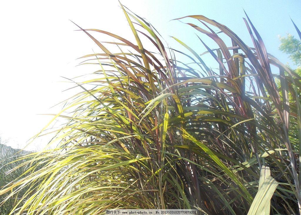 芦苇 植物 叶子 天空 自然 摄影