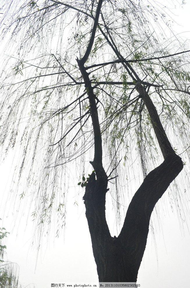 柳树 春天 柳叶 嫩叶 树枝