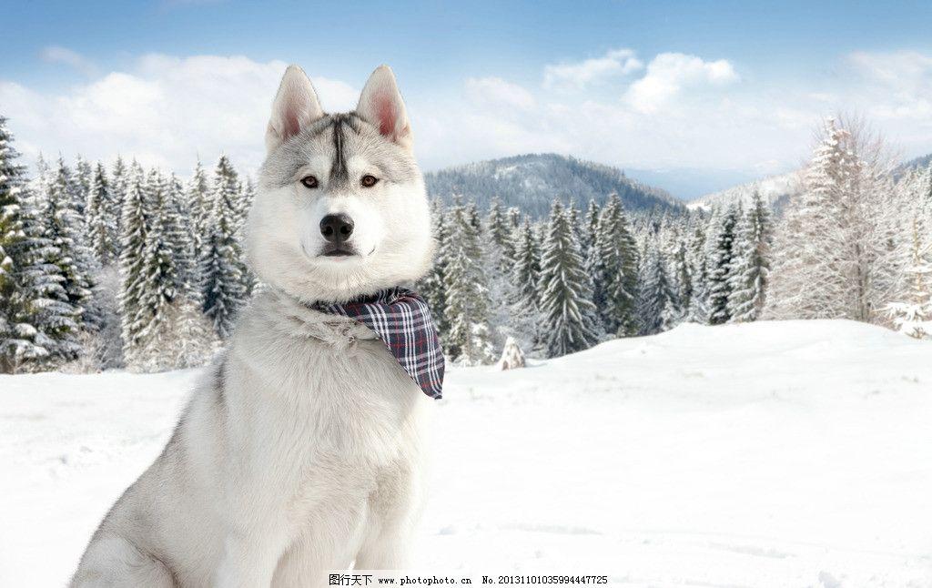 西伯利亚雪橇犬 冬天 雪地 狗 宠物 可爱 动物 雪松 雪景 家禽家畜 生
