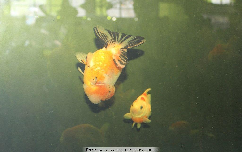 金鱼 观赏鱼 生物 动物 水生动物 鱼类 生物世界 摄影 300dpi jpg