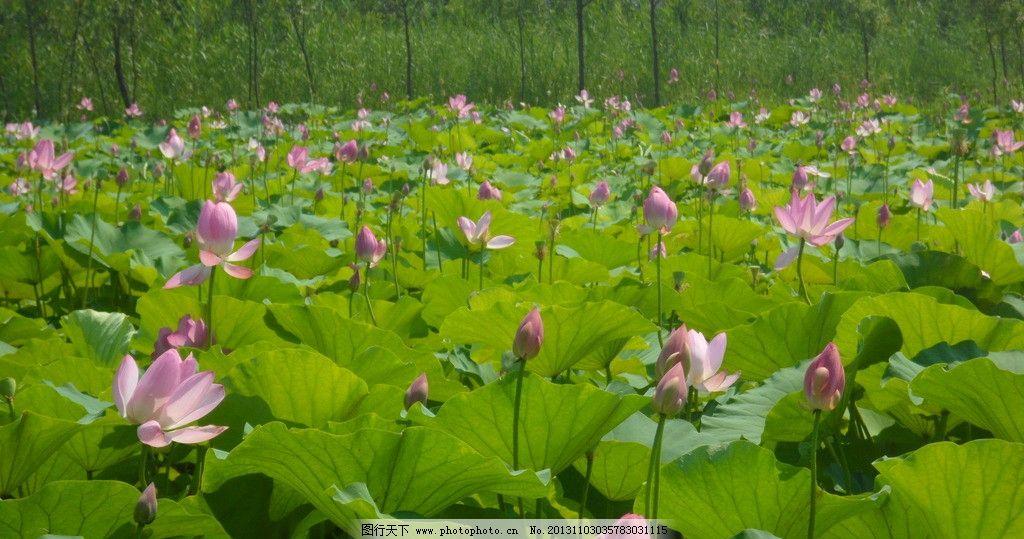 荷花 生长 户外 美景 自然 白天 花瓣 叶子 植物 花照片 田园 池塘