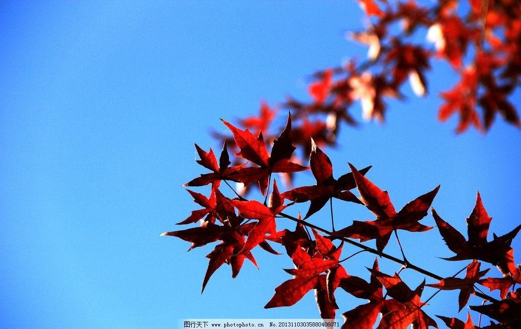 红叶 蓝天 植物 木本 五角型 树木树叶 生物世界 摄影 72dpi jpg