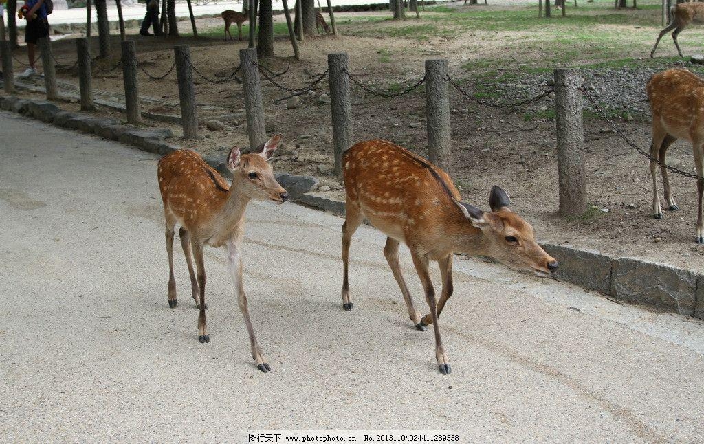 梅花鹿 动物 花纹 角 生物