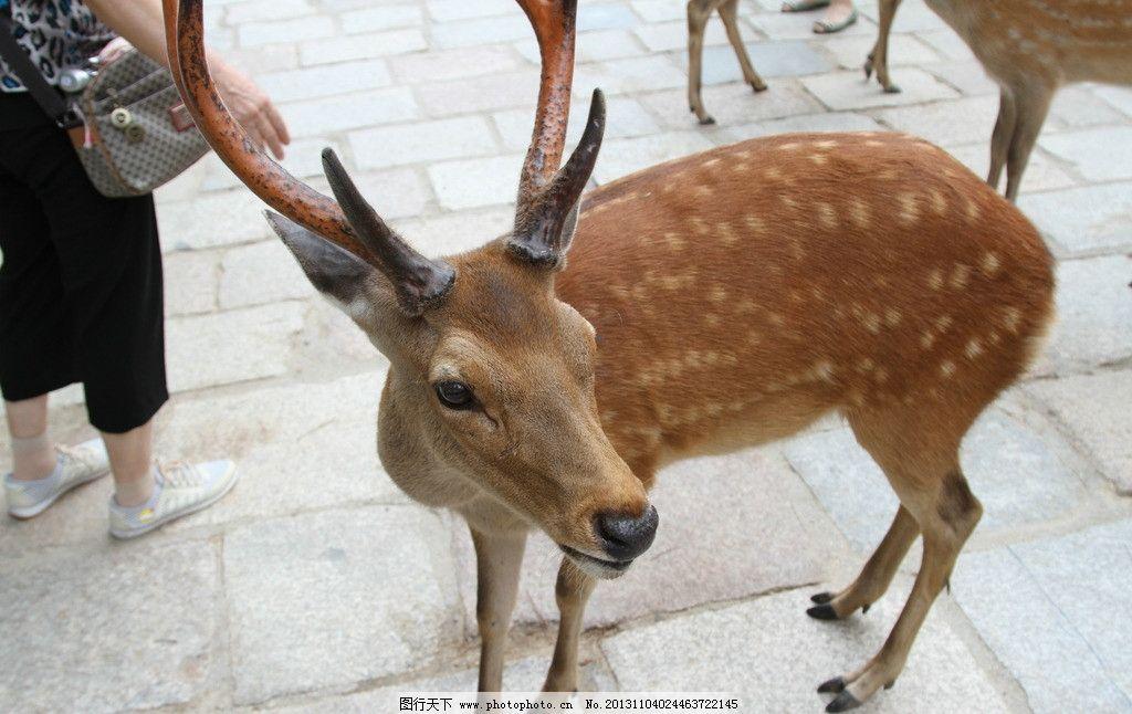 梅花鹿 动物 花纹 角 生物 野生动物 生物世界 设计 72dpi jpg