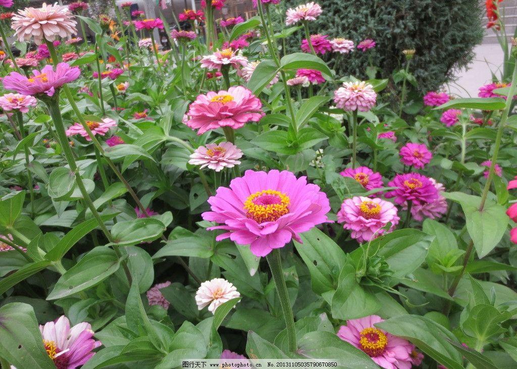 花朵 盛开的花朵 鲜花 红色的花朵 粉色的花朵 花丛 花草 生物世界