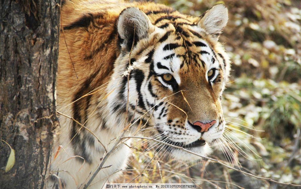 狩猎中的老虎 动物 老虎 东北虎 动物园 狩猎 野生动物 生物世界 摄影