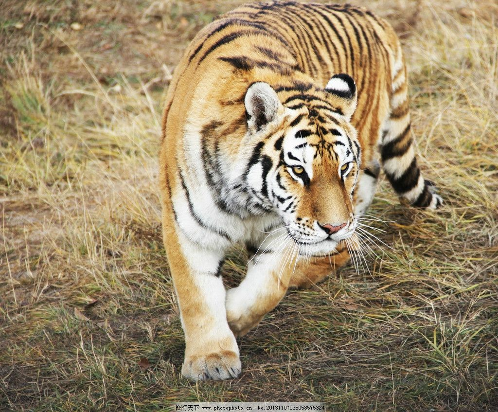 老虎 动物 东北虎 动物园 食肉类 野生动物 生物世界 摄影 72dpi jpg