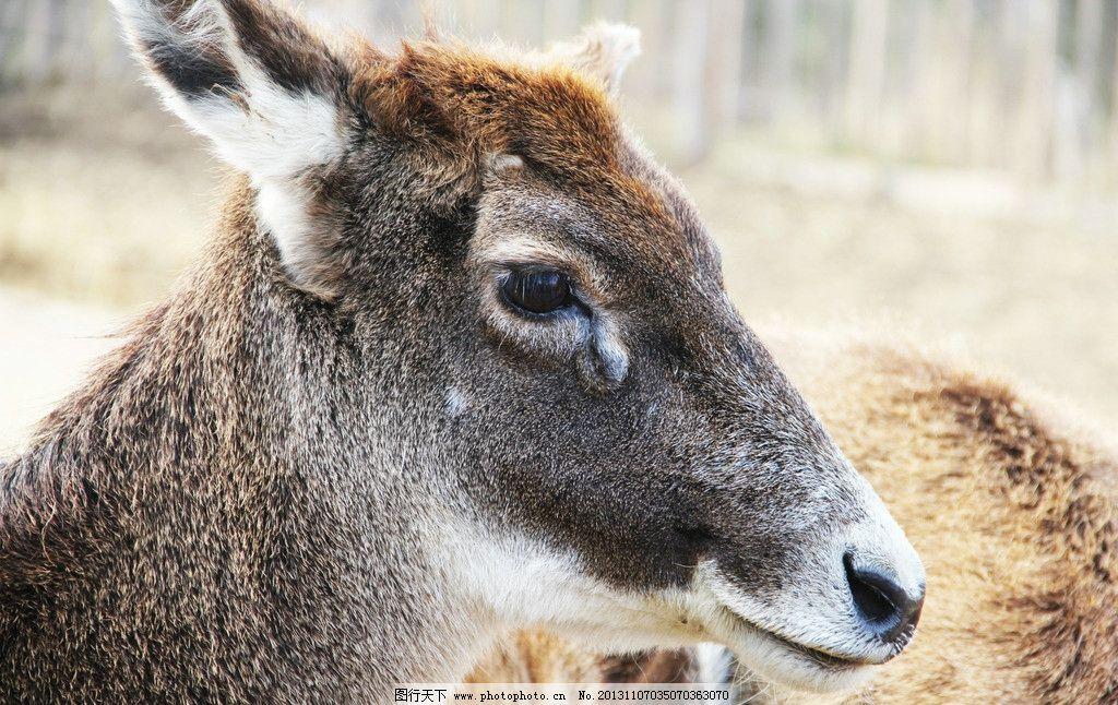 高原羚羊 羚羊 动物 高原动物 羊 野生动物 生物世界 摄影 72dpi jpg