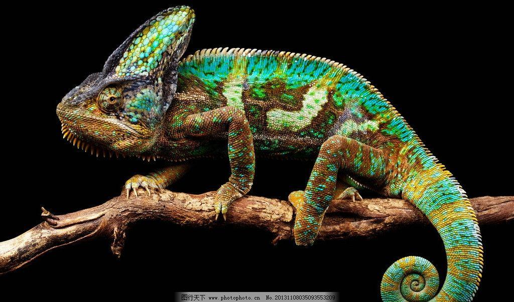 蜥蜴 变色龙 四脚蛇 两栖动物 冷血动物 爬行动物 野生动物 生物世界
