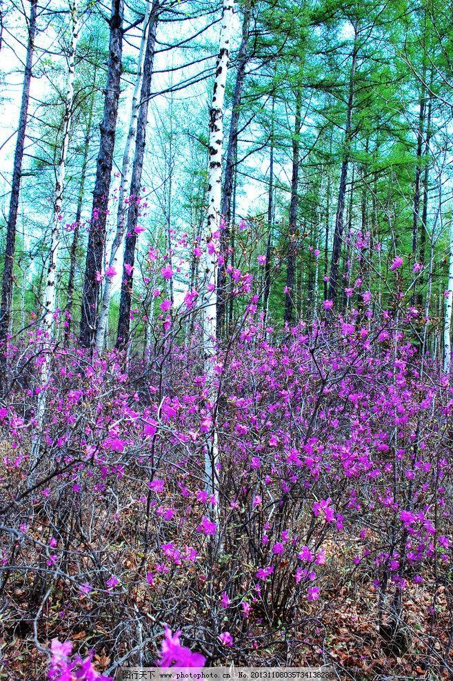 达达香花 根河市 春天 达达香 映山红 杜鹃花 花卉 花朵 植物 树林