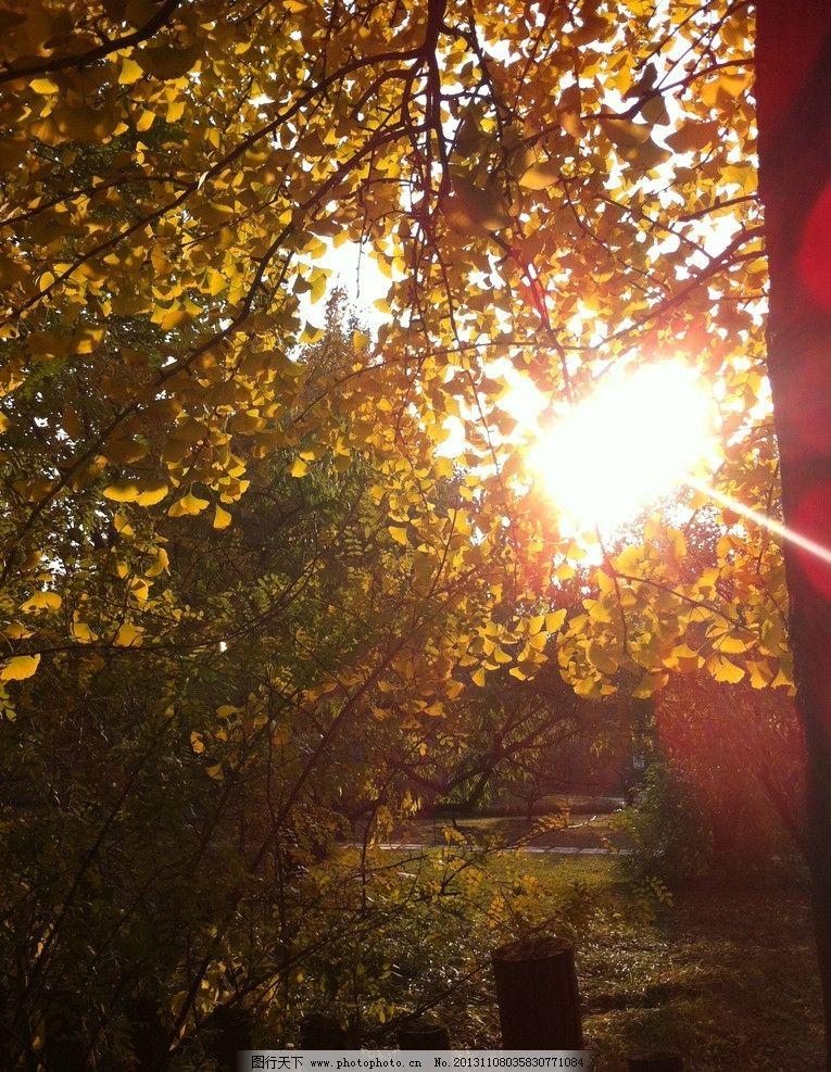 银杏树 初秋 植物园 夕阳 银杏 黄叶 香山 树木 自然 树木树叶 生物