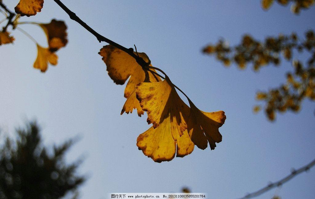 树叶 银杏 银杏林 银杏叶 黄叶 秋叶 蓝天 树枝树叶 秋阳 摄影