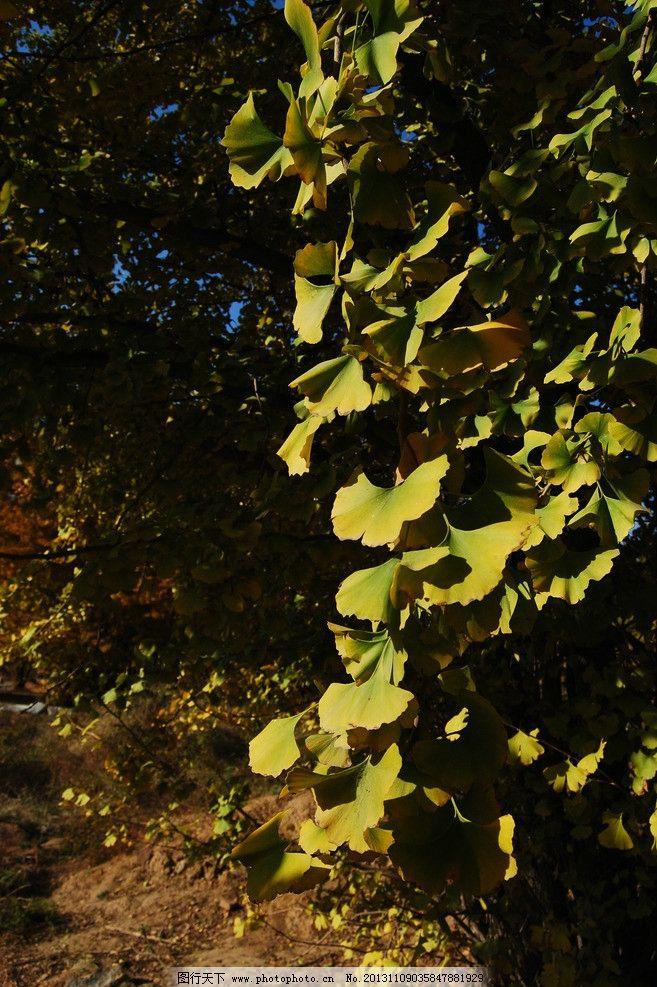 树叶 银杏林 银杏树 银杏叶 秋叶 黄叶 秋阳 风景 自然风景