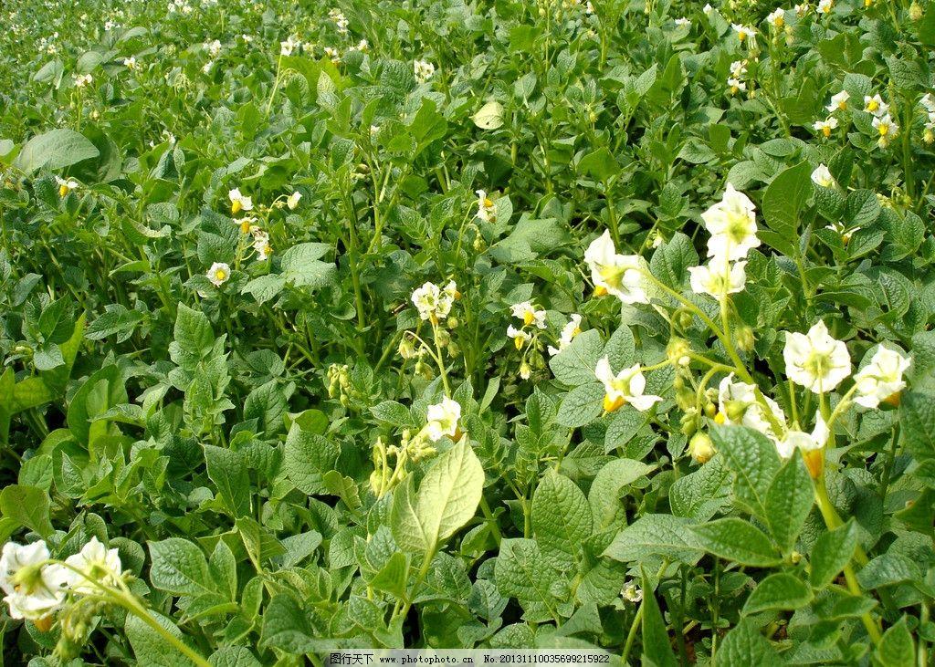 土豆花 生长期土豆 田地 夏天 绿色田野 绿色庄稼 绿色背景 白花图片