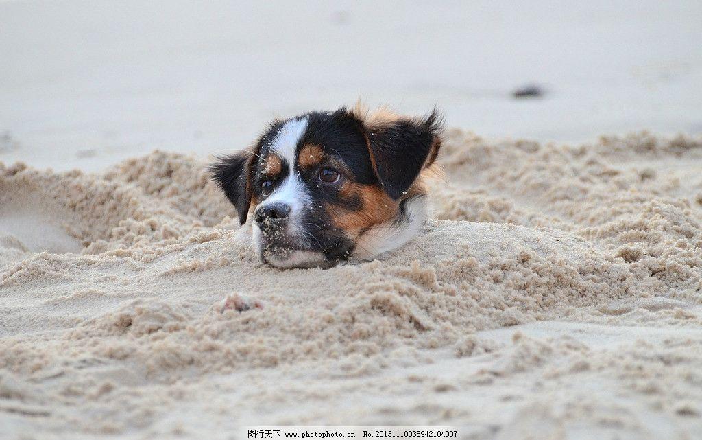 小狗 狗 狗狗 活埋 沙滩 家禽家畜 生物世界 摄影 300dpi jpg