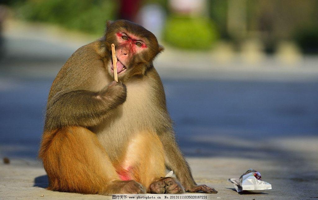 猴子王 猕猴 猴王 胖猴子 精灵 雪糕 动物 龙虎山 动物园 自然