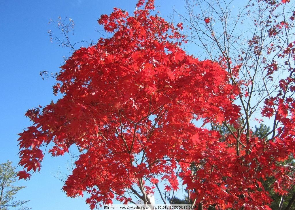 红叶 秋天 树木 天空 枫叶 摄影图片