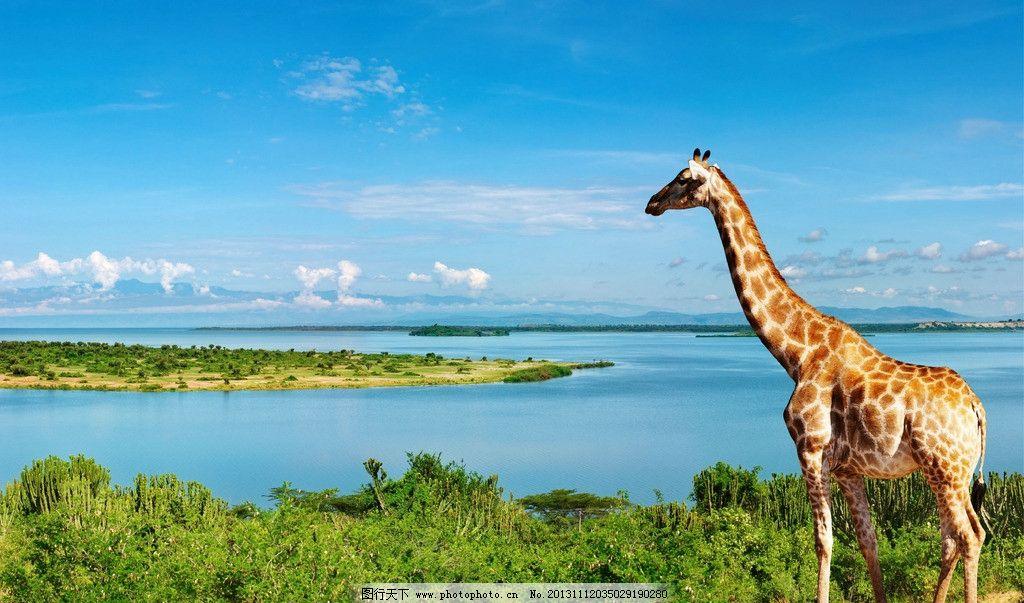 长颈鹿 尼罗河 风景 动物 300dpi 野生动物 生物世界 摄影 300dpi jpg