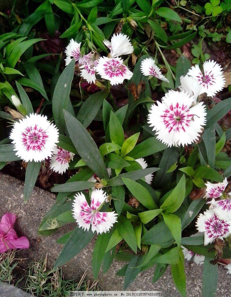 紫色小花 紫色小花图片素材下载 花朵 植物 摄影 生物世界 花草
