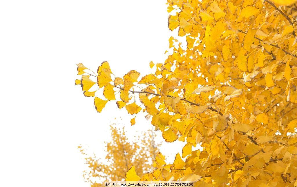 金色 叶子 银杏叶 银杏树 金黄 秋天 树木树叶 生物世界 摄影 240dpi