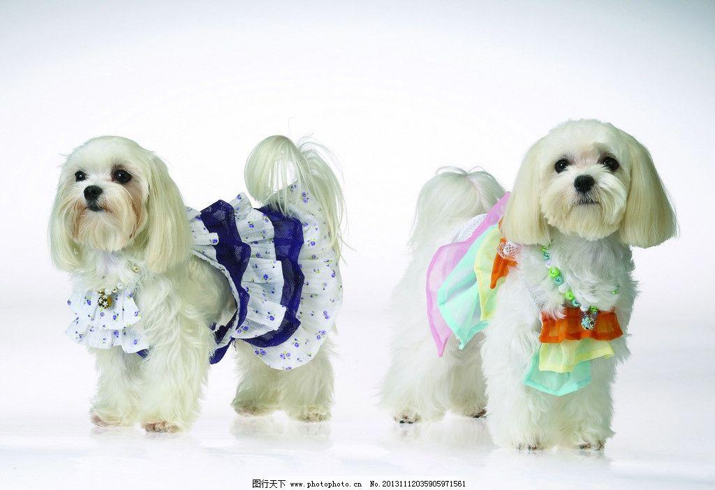 西施犬 宠物狗 狗 萌宠 宠物 宠物店 萌犬 家禽家畜 生物世界 摄影