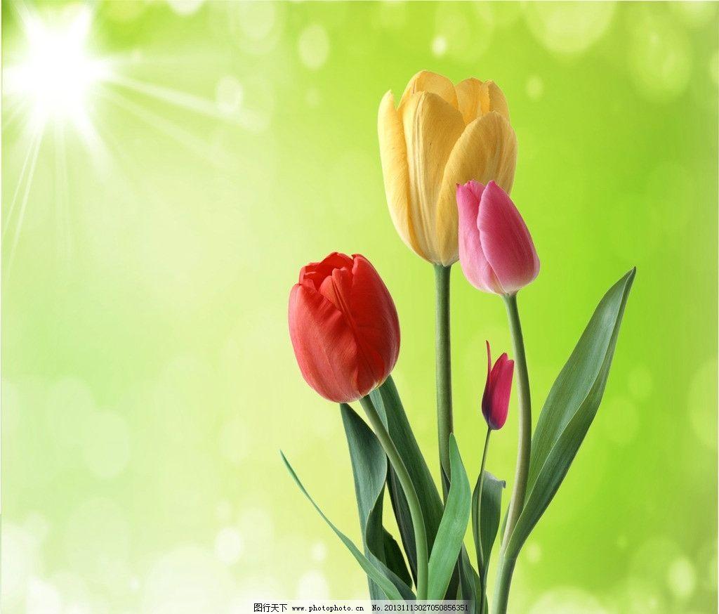 郁金香 郁金香设计素材 郁金香模板下载 唯美花朵 植物 梦幻背景花卉