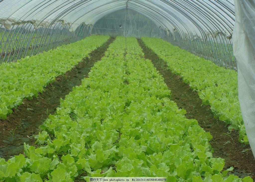 蔬菜大棚 蔬菜 大棚 新鲜蔬菜 蔬菜种植 生物世界 摄影 300dpi jpg