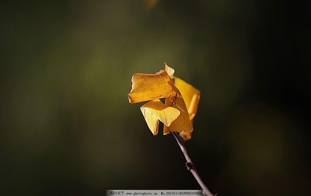 银杏 银杏图片素材下载 银杏树 银杏叶 黄色 树叶 秋天 树木树叶 生物