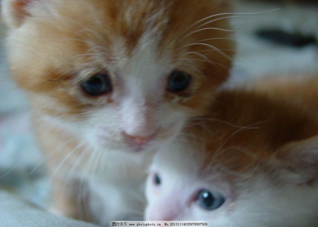 小猫 可爱 萌 黄 毛茸茸 家禽家畜 生物世界 摄影 72dpi jpg