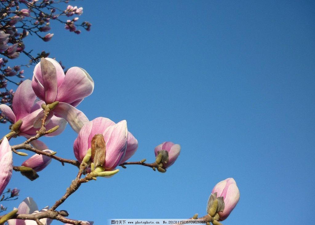 玉兰花 鲜花 花朵 花瓣 花蕊 花卉 花卉系列 花草 生物世界 摄影 180