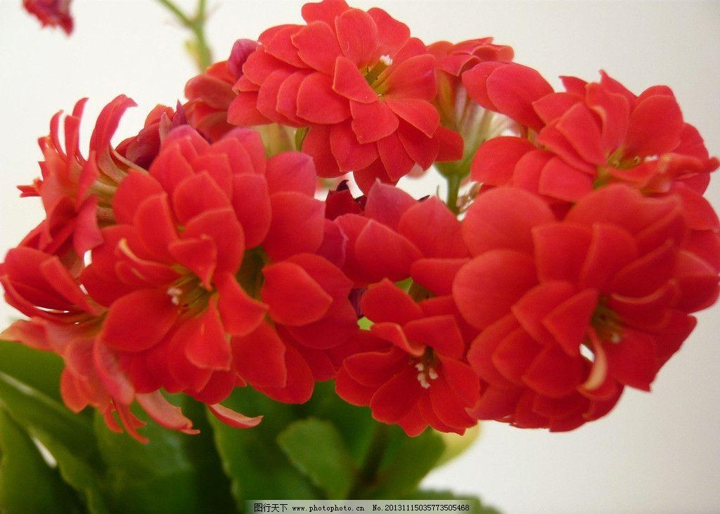 红色长寿花 长寿花 花朵 小花 绿叶 唯美花朵 花卉 红色花朵 图片大全