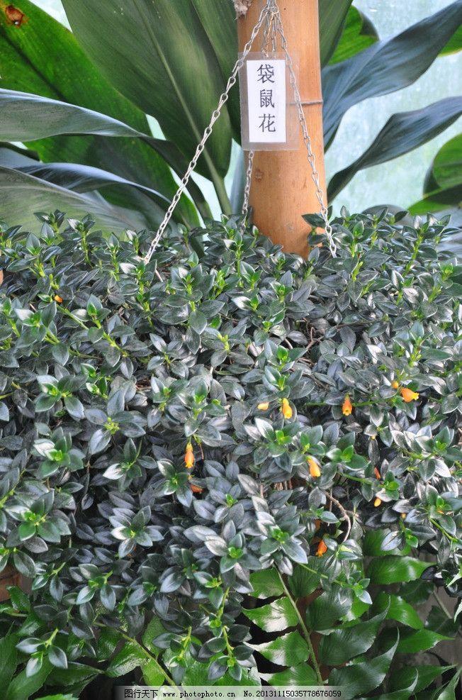 袋鼠花 被子植物门 双子叶植物纲 管花目 旋花科 金鱼草属 花草