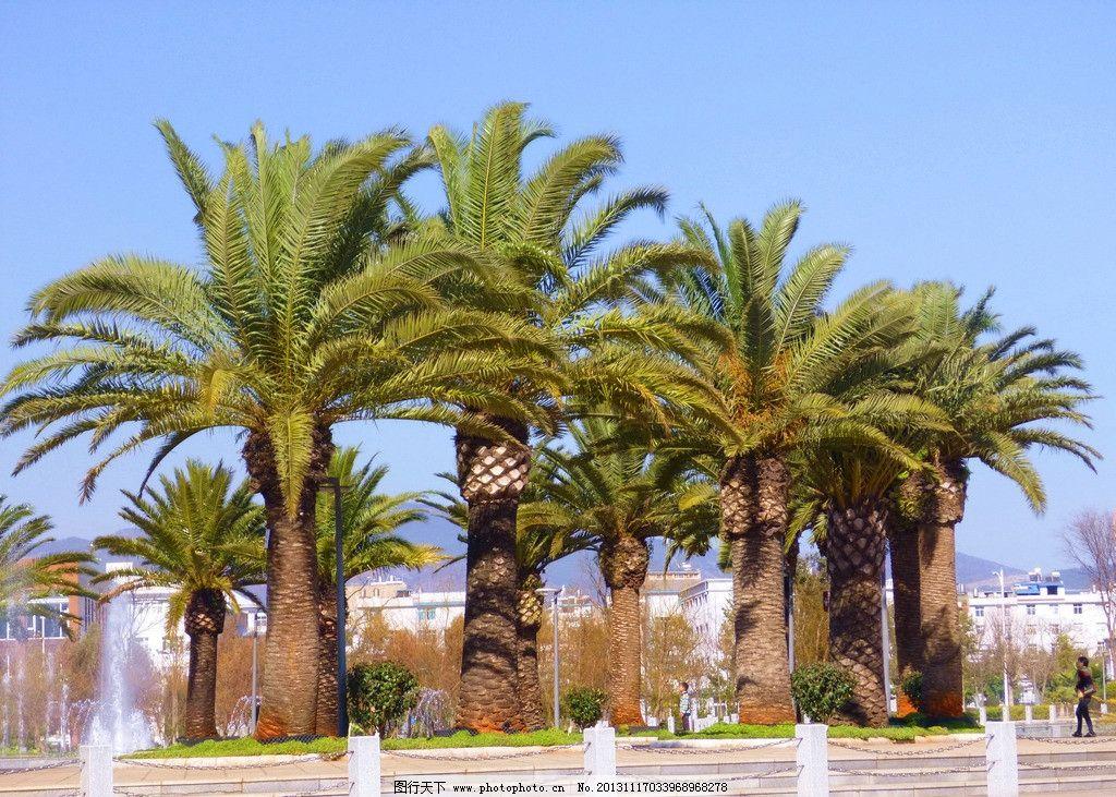 铁树 蓝天 树木 风景 摄影 公园 景物 国内旅游 旅游摄影 180dpi jpg